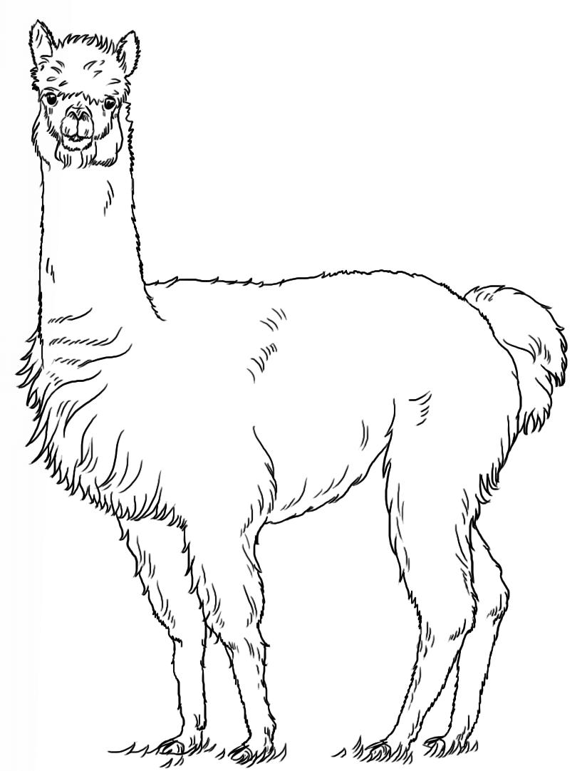 Alpaca coloring pages